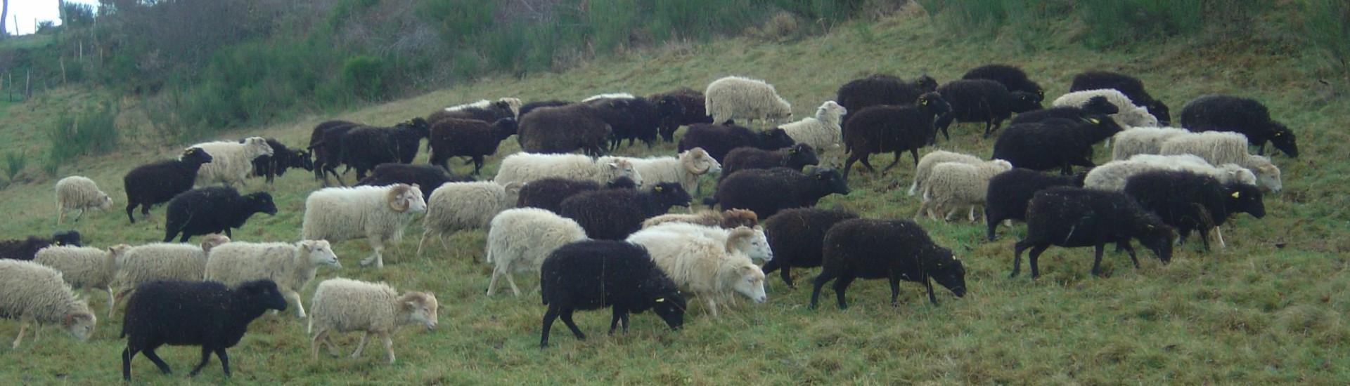 Titre-MoutonsOuessant